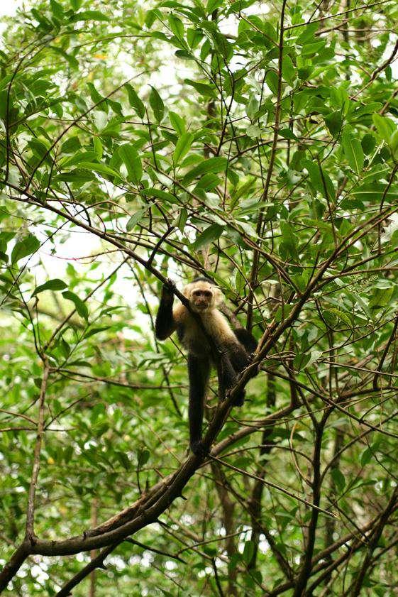 Capuchin or White-faced monkey