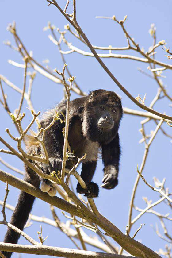 Your neighbor, the Congo (Howler) Monkey