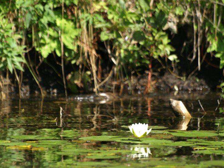 Water lilly and vegetation