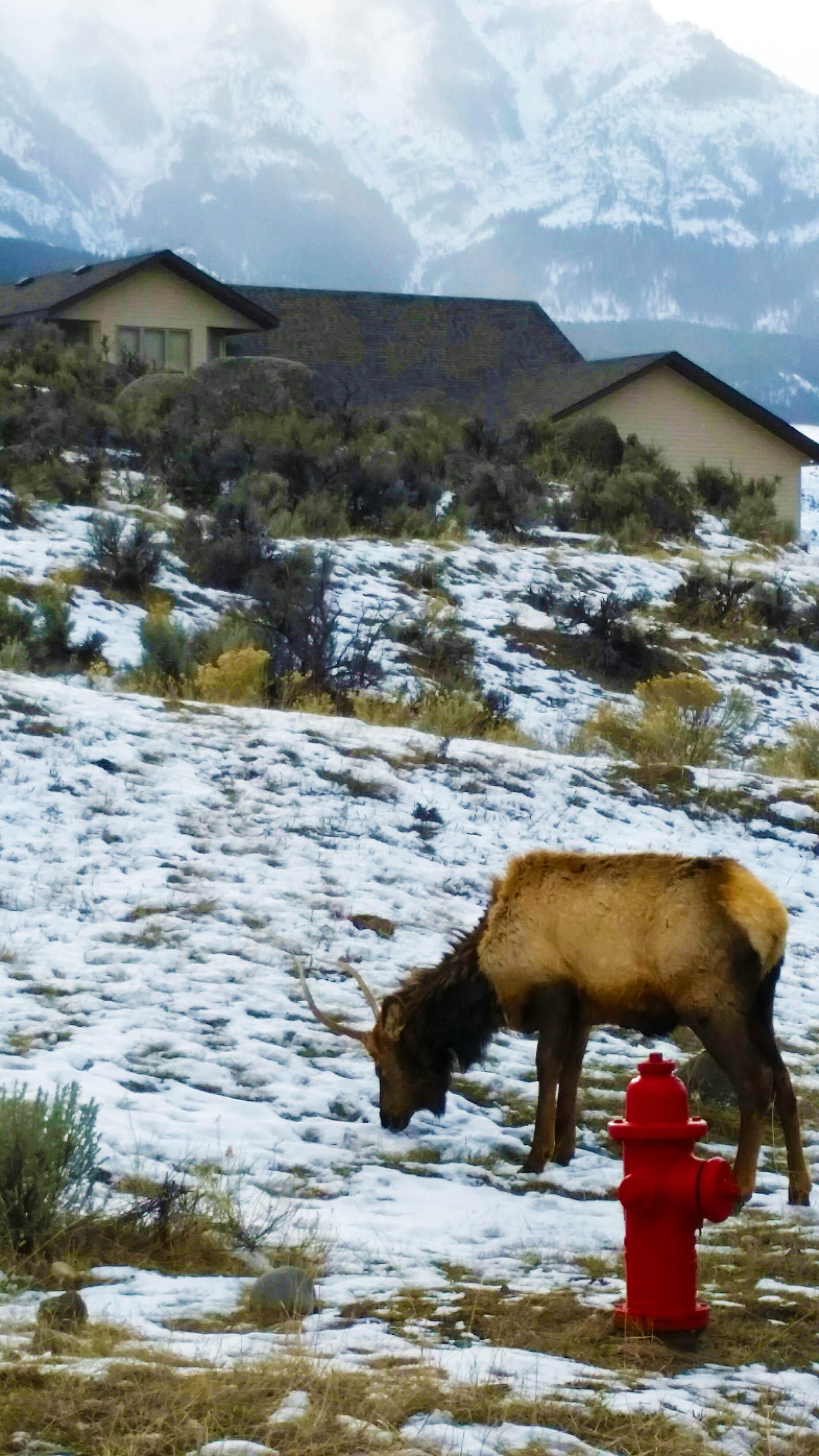 Elk in front of house