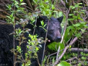 Black bear thumb