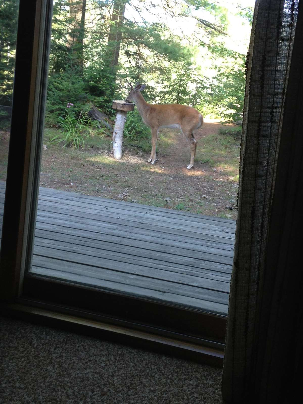 A deer visiting the property