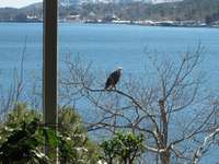 Eagle perched feet from the patio thumb