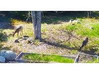 Deer visiting the backyard. thumb