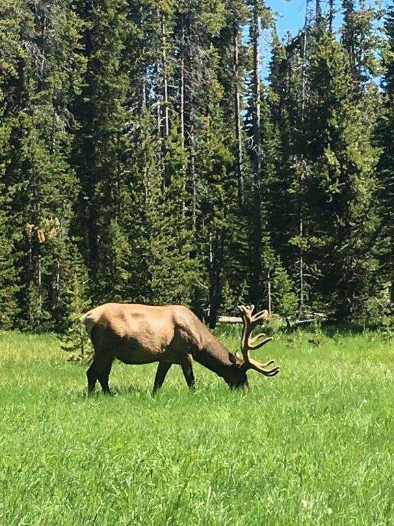 Elk roam all over Mammoth