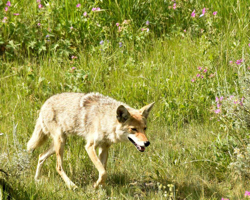 Yellowstone National park's wolf.