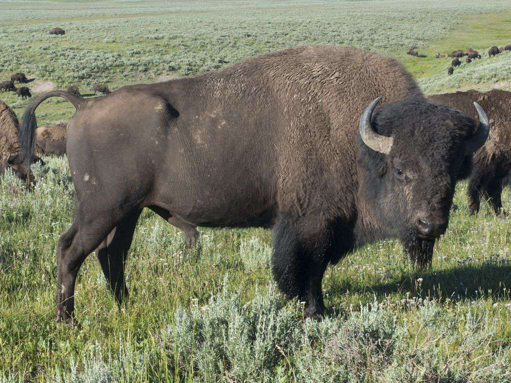 You will see bison along the road at Yellowstone.