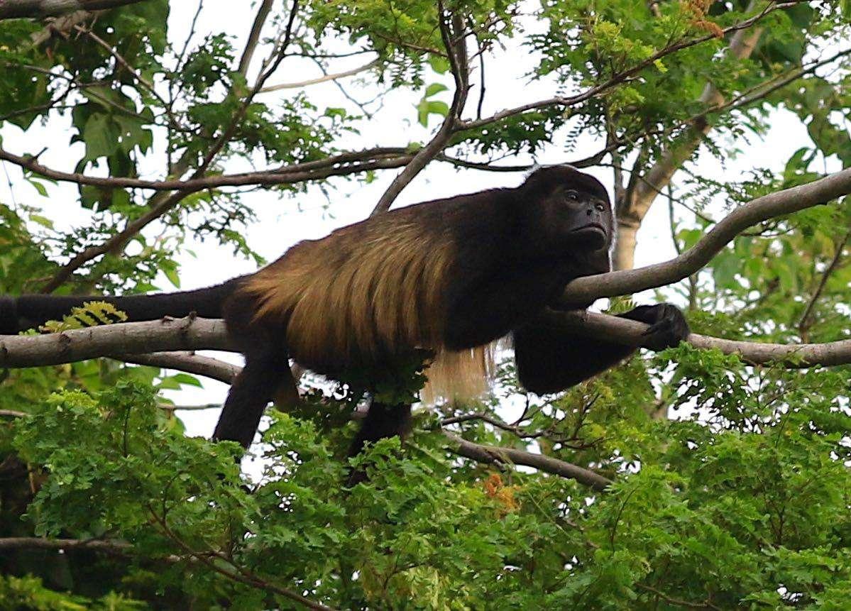 Our neighbors, the howler monkeys