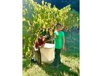 Harvesting grapes thumb