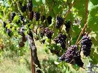 Estate Pinot Noir grapes thumb