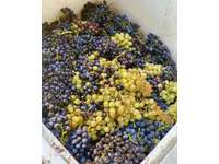Freshly picked grapes ready for the de-stemmer thumb