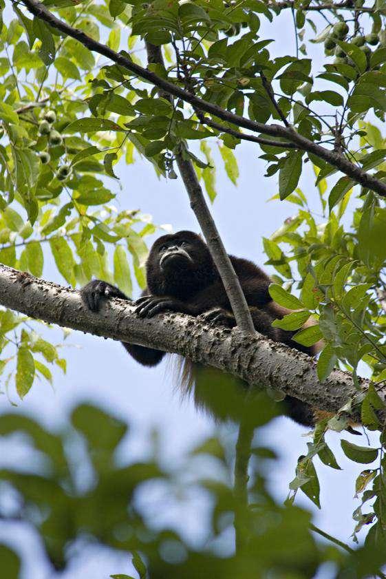 Howler monkey, your neighbor
