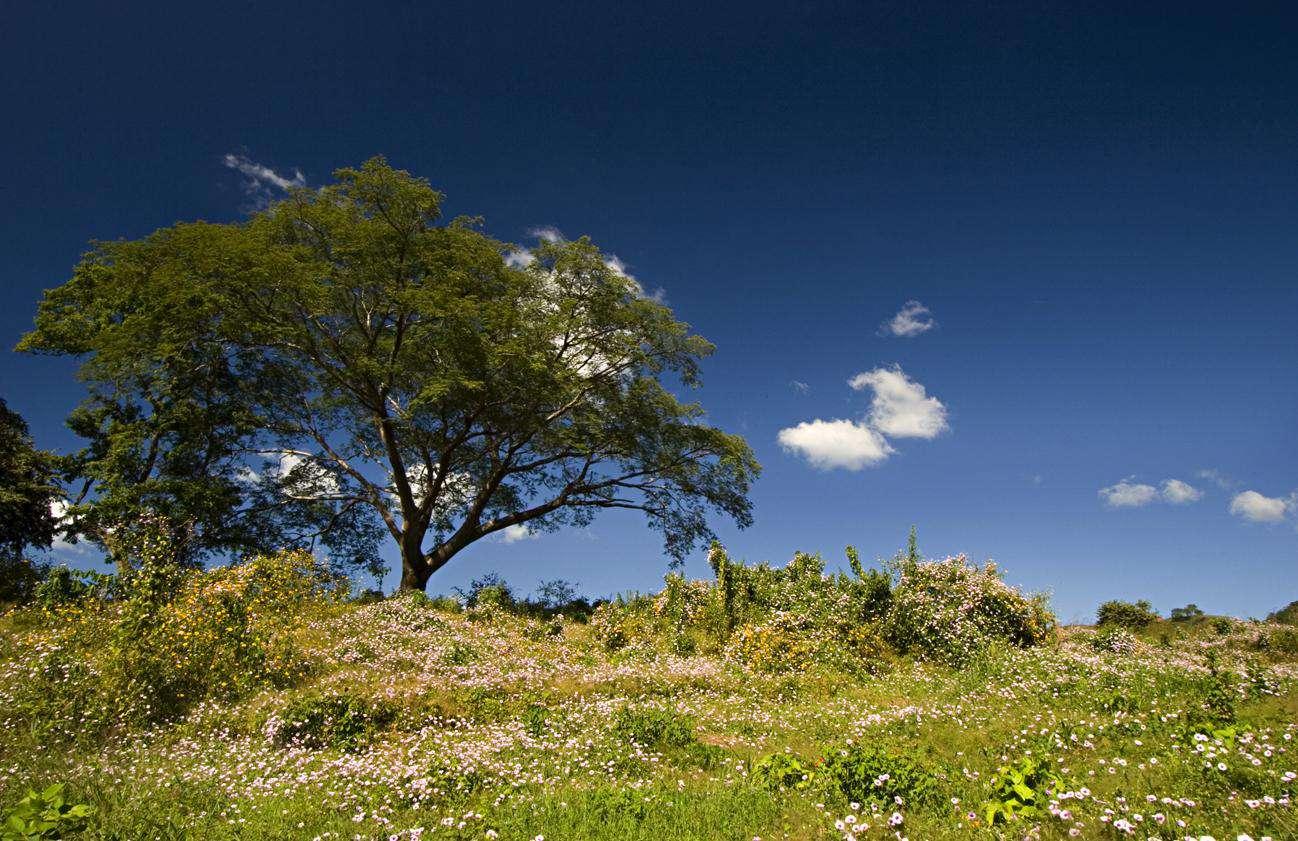 Guanacaste, the national tree